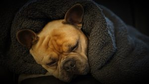 french bulldog, sleeping, blanket